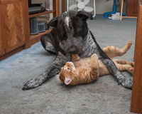 Big dog on top of little kitty Royalty Free Stock Images