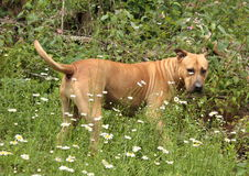 Big dog. Vary large brown dog in the daiseys Royalty Free Stock Photography
