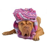Big dog wearing hat and scarf Stock Images