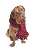 Big Dog wearing warm Red Scarf Stock Photos