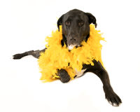 Big dog wearing yellow feather boa Stock Photo