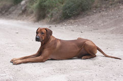 Big dog on white road. Rhodesian ridgeback lying on the road Stock Images