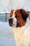 Big dog,winter. Protection territory Stock Images