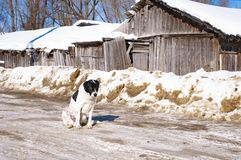 Big dog in winter at home stock photo