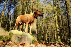 Big dog in the woods. Big dog at tree in forest. Dog in nature Royalty Free Stock Photos