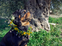 Big dog with a wreath of wildflowers. Stock Image