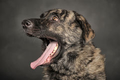 Big dog yawns Stock Photography