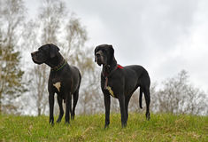 Big dogs on a meadow Stock Photography