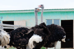 Big domestic ostrich in the poultry yard Royalty Free Stock Photo