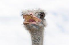 Big domestic ostrich Stock Image