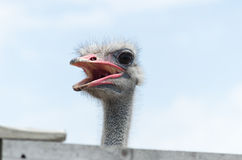 Big domestic ostrich Royalty Free Stock Photo