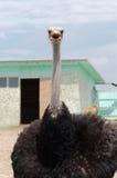 Big domestic ostrich Stock Photo