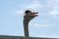Big domestic ostrich Stock Photography