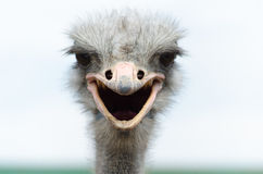 Big domestic ostrich Royalty Free Stock Photography