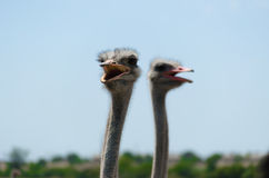 Big domestic ostrich Royalty Free Stock Image