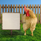 Big domestic rooster looking at blank white board - square composition Stock Photos