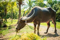 Big domestic water buffalo Royalty Free Stock Photos