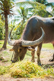 Big domestic water buffalo Royalty Free Stock Image