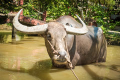 Big domestic water buffalo Stock Image