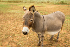Big Donkey. A rather large donkey in a field in Texas Stock Photos