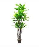 Big dracaena palm in a pot isolated Stock Photos