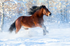 Big draft horse runs in winter Stock Images
