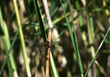 Big dragon-fly Stock Images