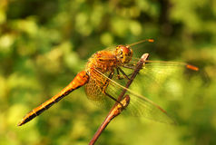 The big dragonfly Stock Photo