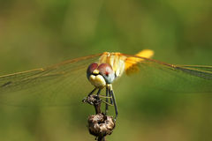 The big dragonfly Royalty Free Stock Photos