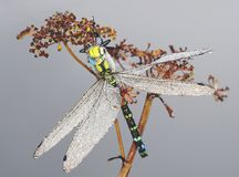 Big dragonfly in dew drops Stock Image