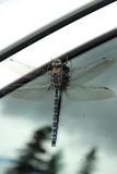 Big dragonfly on a glass. Big dragonfly close up on a glass with his reflection Stock Image