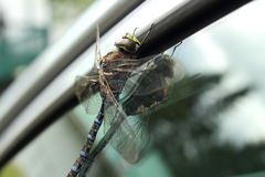Big dragonfly on a glass. Big dragonfly close up on a glass with his reflection Royalty Free Stock Photography