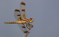 Big dragonfly Royalty Free Stock Photos
