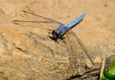 Big dragonfly. Sits on a sunny day on the stone Royalty Free Stock Photography