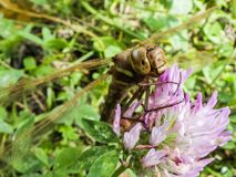 Big dragonfly sitting on a clover flower macro royalty free stock photos