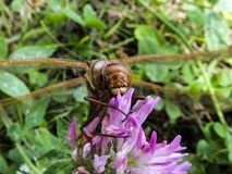 Big dragonfly sitting on a clover flower macro stock image