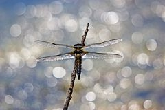 The big dragonfly on the stick Royalty Free Stock Photography