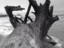 Big driftwood Stock Image