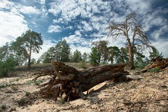 Big dropped dead tree with big roots in pine forest Stock Photography