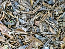 Big dry leaf fall on ground Stock Images