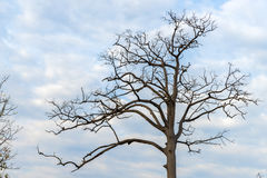 A big dry tree. With the blue sky background Royalty Free Stock Photo