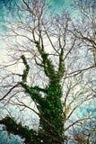 Big dry tree covered with bindweed Stock Image