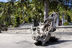 Big dry tree trunk,Nusa Penida in Indonesia Royalty Free Stock Photography