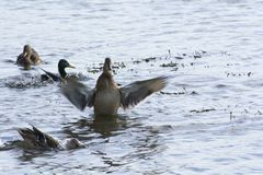 Big duck. Flaps its wings and shakes off water after diving Stock Images
