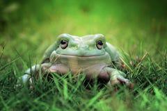 Tree frog, dumpy frog, big frog, green frog. Big dumpy frog closeup, dumpy frog Stock Photography