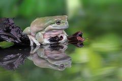 Tree fog, frogs, dumpy frog. Big dumpy frog on reflection Stock Images