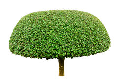 Big dwarf tree isolated. On white background Royalty Free Stock Images