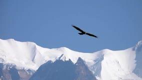 Big Eagle Bird Flying Over Himalayan Mountain Range
