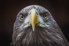 Big eagle in the dark looking straight at me. With a stern look in the eye Royalty Free Stock Photography