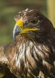 Big eagle Royalty Free Stock Photos